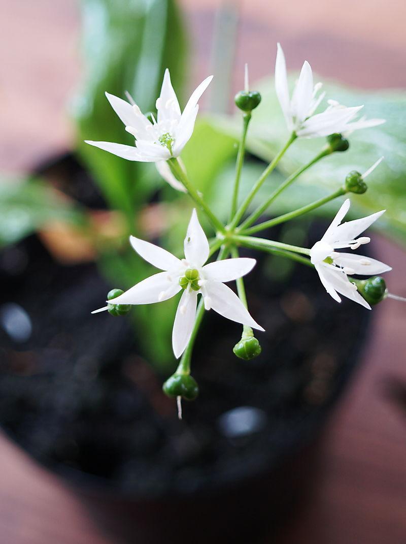 Ramson flower