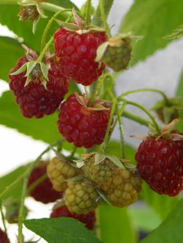 Raspberries_and_blackberries_006